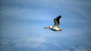 Pelikane sind so einige unterwegs