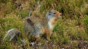 Aufmerksamer Zuhörer - ein Ground Squirrel