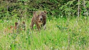 Die Grizzlybärenmama ist schon aufmerksamer.