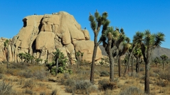 Typisch: Joshua Trees vor Felsen