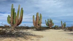Nach 50 Jahren ist die Pflanze gerade mal 2 m hoch...