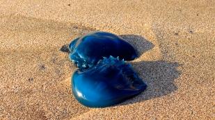 Blaue Quallen...