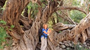 Alter Olivenbaum...