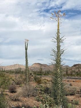 Cirio-Bäume können bis 16 m hoch werden...