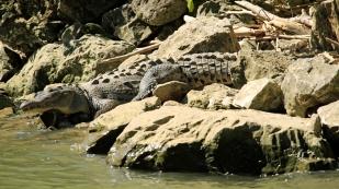 Die Krokodile...