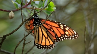 Monarchfalter...