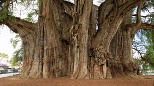 Der dickste Baum der Welt...