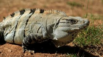 Auch hier wieder Iguane