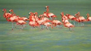 ...mehrere Gruppen Flamingos...