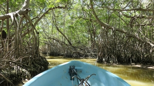 Fahrt durch den Mangrovenwald