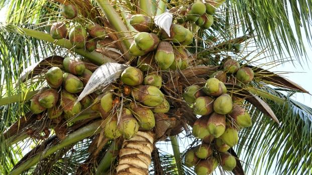 Kokosnüsse schön, aber nicht ganz ungefährlich
