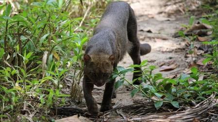 Der Jaguaroundi schleicht durch's Gelände