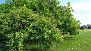 Cashewbäume...