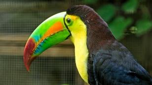 Der Tukan - Nationalvogel von Belize