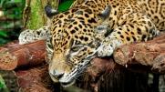 Ein hungriger Jaguar sieht anders aus