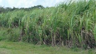 Zuckerrohrplantage und...