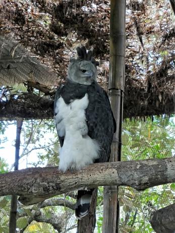Harpyie, großer Greifvogel, der sich von Faultieren und Affen ernährt
