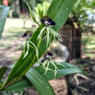 Schwarze Orchideen am Wegesrand