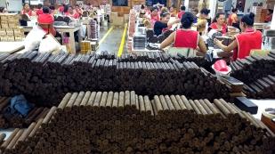 Die gerollten Zigarren fertig zur Weiterverarbeitung