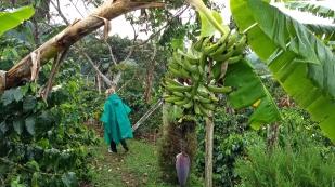 Auch Bananen werden hier angebaut