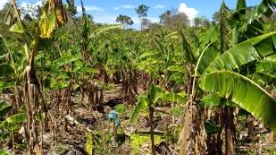 Quer durch die Bananenplantage