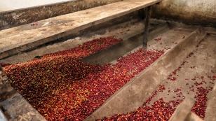 Angelieferte und verwogene Kaffeebohnen