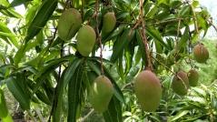 ...mit Mangobäumen...