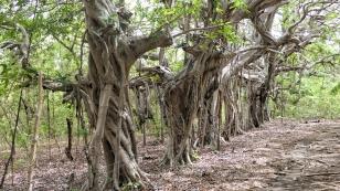 ...und knorrige Bäume...