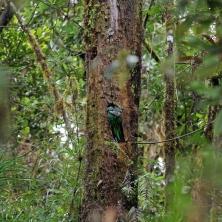 Der Quetzal leider nur von hinten