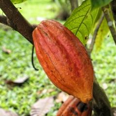 ...an Kakaoplantagen vorbei