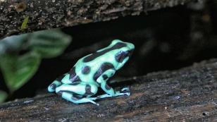 Grün-schwarzer Pfeilgiftfrosch