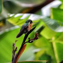 Einer der vielen hübschen Kolibris