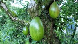...wachsen riesige Früchte an den Bäumen
