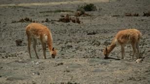 Vikunjas, wilde Verwandte der Lamas...