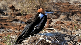 Fregattvogeljunges