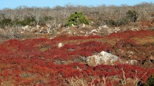 Ein roter Teppich - Carpet-Red überzieht einen Teil der Insel