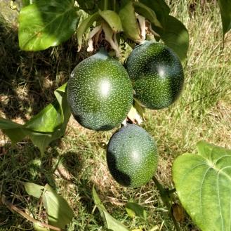 ...und sogar exotischen Früchten im Garten