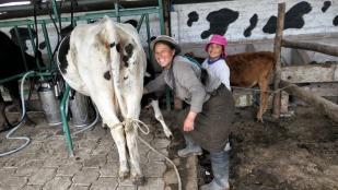 Sie hilft ihrer Mama beim Kühe melken