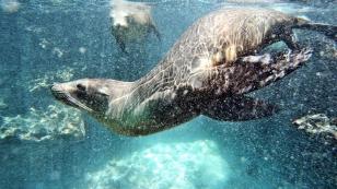 ...mit Seelöwen zu schwimmen