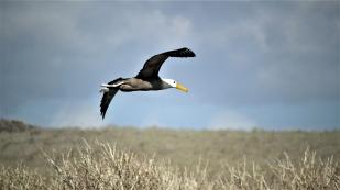 Albatrosse gehören zu den schwersten flugfähigen Vögeln...