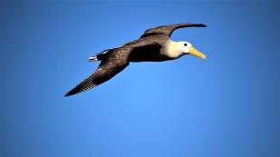 Keine andere lebende Vogelart erreicht solch eine Spannweite