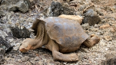 Riesenschildkröte mit sattelförmigen Panzer und langem Hals...