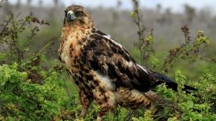 Ein stolzer Falke