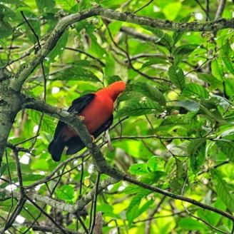 Andenklippenvogel - der Nationalvogel Perus