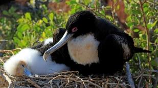 Fregattvogelmama mit ihrem Jungen