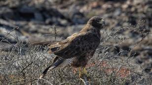 Galapagos-Falke in Wartestellung...