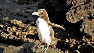 Die Galapagos-Pinguine tummeln sich an Land...