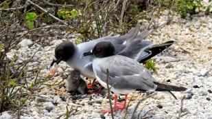 Gabelschwanzmöwe mit Jungem