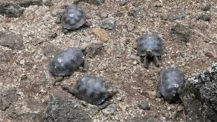 Jede Schildkröte hat eine farbige Nummer, die jeweils einer Insel zugeordnet ist