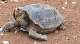 Riesenschildkröte mit kuppelförmigen Panzer